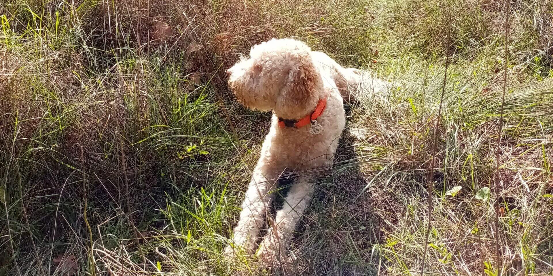 Lagotto Charly Le Miracle